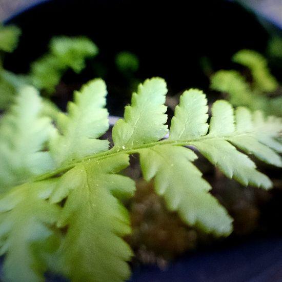 Macro Plant /// Farn im Blumentopf