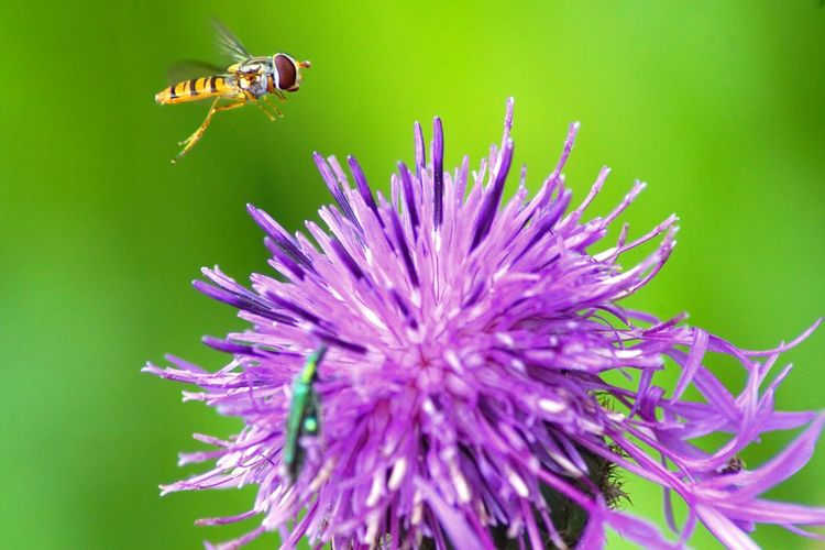Hoverfly Hoverfly On Flower Hoverfly In Flight Hoverfly Flowering Plant Flower Animal Themes Plant Animals In The Wild Animal Beauty In Nature Insect Flower Head Close-up Nature Animal Wildlife Day