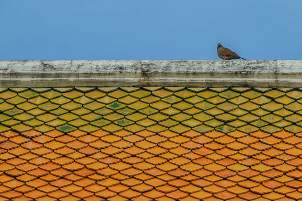 Grey pigeon perching on the ridge of orange tiled roof with blue sky background. Wat Suthat Animal Animal Themes Animal Wildlife Animals In The Wild Architecture Barrier Bird Boundary Built Structure Day Fence Low Angle View Nature No People One Animal Outdoors Perching Sky Tiled Roof  Tiles Tiles Architecture Tiles Textures Vertebrate Wall Wall - Building Feature