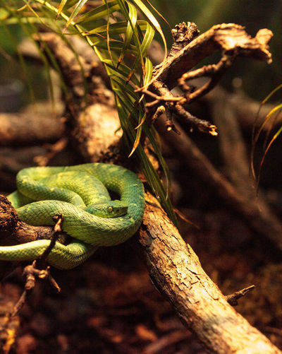 Side striped palm pit viper known as Bothriechis lateralis is found in forests of Costa Rica. Bothriechis Lateralis Coiled Snake Costa Rica Herp Herpetology Palm Pit Viper Side Striped Palm Pit Viper Snake Venomous Venomous Snake Viper