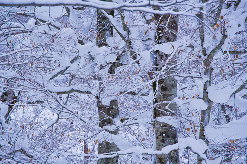 Full Frame Winter Snow Cold Temperature Backgrounds No People Plant Tree Day Nature Close-up Beauty In Nature Frozen Tranquility Outdoors Branch White Color Growth Covering Beech Beech Forest Japan Japan Photography Pentax Beech Tree