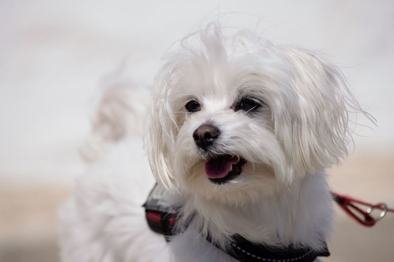 Bichon Maltes Dog Pets Domestic Animals One Animal Animal Themes Mammal White Color Looking At Camera Portrait West Highland White Terrier Close-up No People Day Outdoors EyeEm Diversity EyeEm Diversity The Portraitist - 2017 EyeEm Awards