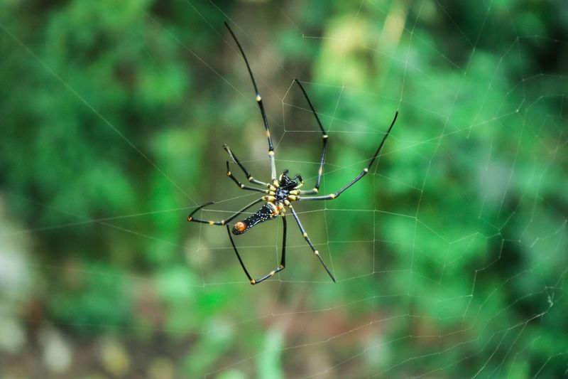 Giant wood spider. Spider Giant Wood Spider Wildlife Macro Wild Jungle Web Spider Web Spiders Animal Leg Full Length Web Insect Spider Web Spider Survival Animal Themes Close-up Arthropod Invertebrate Weaving Prey Loom
