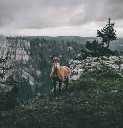 Alpine ibex on grass against sky