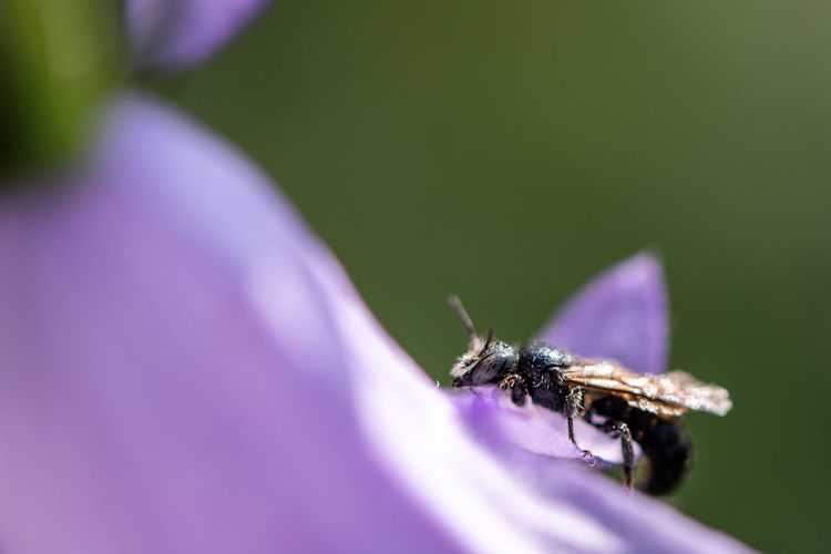 Osmia rapunculi on a bellflower... Perching Female Part Of Macro Macro Insects Insect Insects  Wild Bee Solitary Bee Save The Bees Osmia Rapunculi Summer EyeEm Nature Lover Nature Beauty In Nature Animal Themes Animals In The Wild Animal Flower Insect Purple Bee Close-up Arthropod Blooming Flower Head In Bloom Fragility