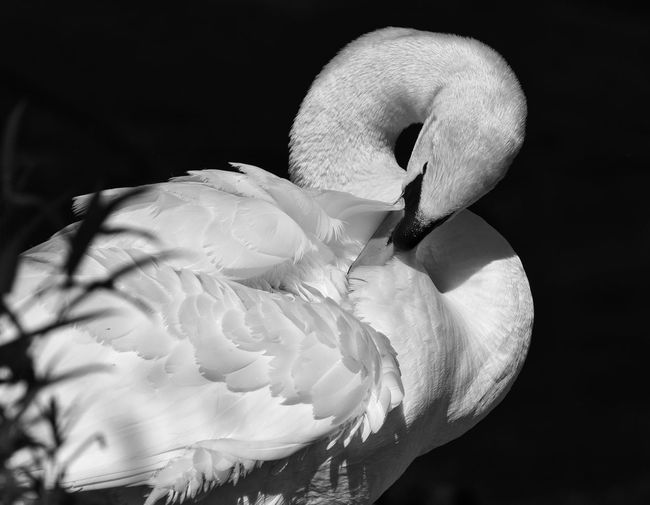 Close-up of white swan against black background