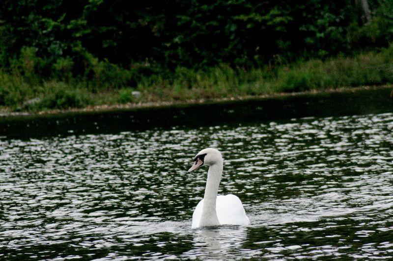 Flappybird Swan