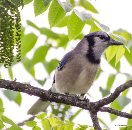Blue Jay Animal