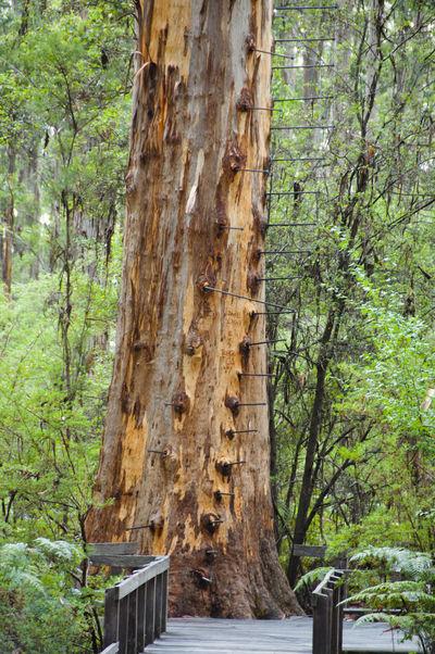 Gloucester Tree Climb Australia Climb Gloucester Tree Pemberton Tree