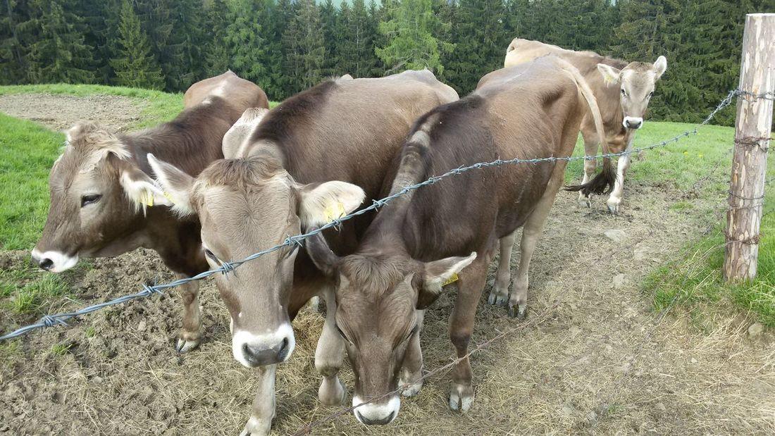 Field Livestock