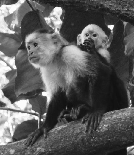Monkey Magic Monkeys Monkey Black And White Two Is Better Than One Maximum closeness Guanacaste  My Year My View WWelcome To Black EEyeEm Diversity TThe Secret Spaces The Great Outdoors - 2017 EyeEm Awards The Portraitist - 2017 EyeEm Awards The Photojournalist - 2017 EyeEm Awards Let's Go. Together. Sommergefühle Sommergefühle EyeEm Selects Guanacaste Costa Rica Guanacaste, Costa Rica Wildlife & Nature Animal Photography Animal Wildlife Pet Portraits Been There. Perspectives On Nature This Is Latin America