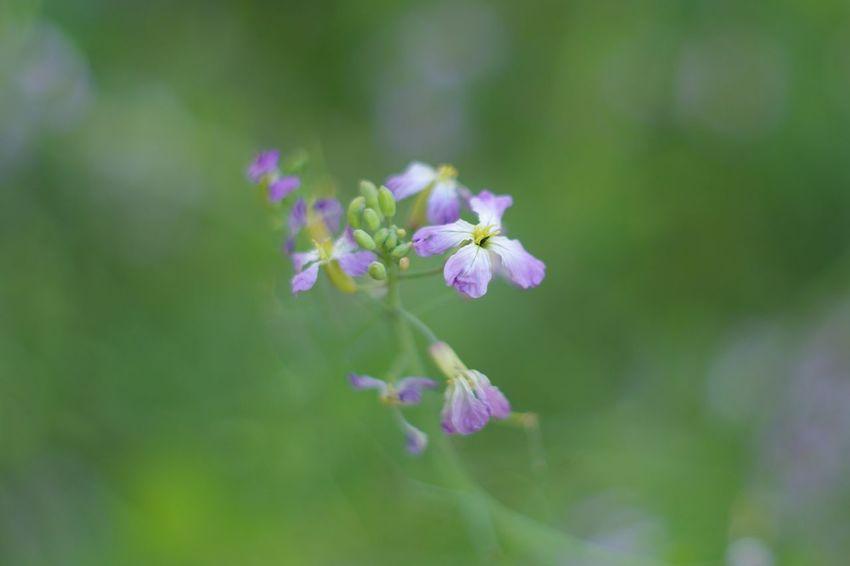 Wild Radishes in Bloom Nature On Your Doorstep Nature The Purist (no Edit, No Filter) Super Takumar Flowers Bokeh Macro Macro Beauty Kit Carson Park