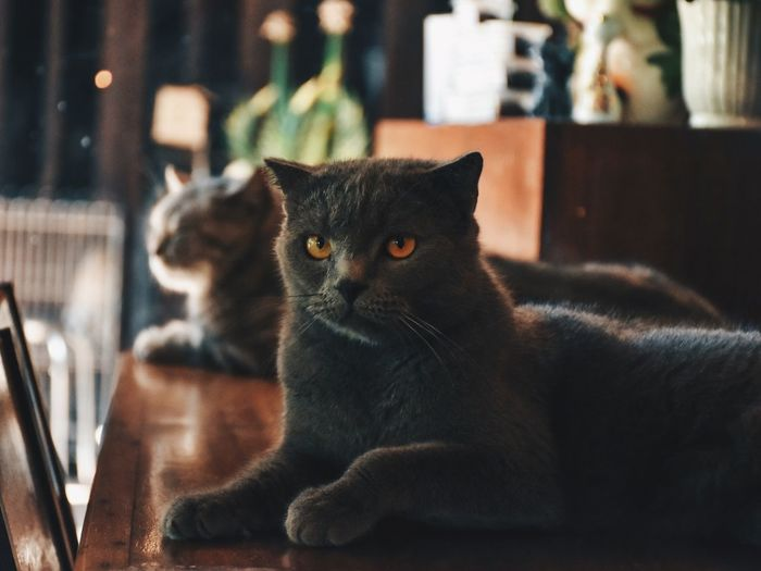 Domestic Pets Domestic Animals Cat Domestic Cat Mammal Animal Home Interior Looking Looking At Camera Focus On Foreground Portrait One Animal Indoors  No People Animal Themes Close-up Vertebrate Feline Relaxation