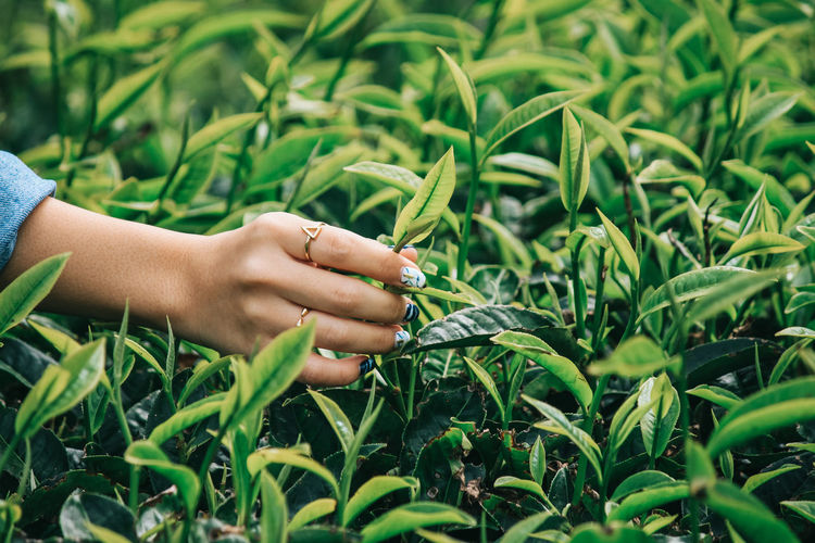 Vietnamese women picking tea leaves at a tea plantation, closeup Human Hand Hand Plant Growth Human Body Part One Person Green Color Leaf Plant Part Field Real People Nature Touching Day Land Close-up Finger Holding Agriculture Outdoors Human Limb Green Farm Plantation Tea Field Crop  Freshness Fresh Plant Nature Pick Rural Harvest Environment Working Harvesting Garden Herb Farmland Farmer Organic Spring Health Care Picker Picking Industry Fingers Wallpaper Scenery