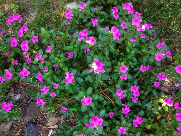 Catharanthus roseus, Catharanthus Roseus Plantea Flowering Plant Flower Plant Beauty In Nature Growth Pink Color Freshness Petal Outdoors Green Color Flower Head Nature
