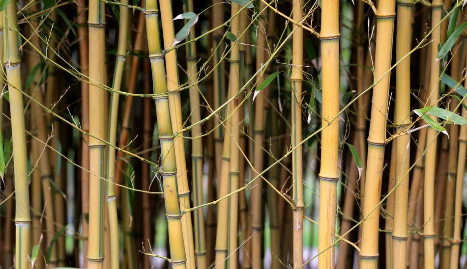 Bamboo close-up Bamboo Bamboo Grove Bamboo Leaf Bamboo Trees Bamboo Leaves Bamboo Groves Bamboo Canes Bamboo Shoot Bamboo - Material Bamboo - Plant Bamboo Forest Bamboo Tree... Bamboo Tree