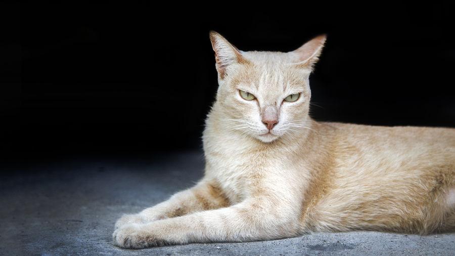 Portrait of ginger cat against black background