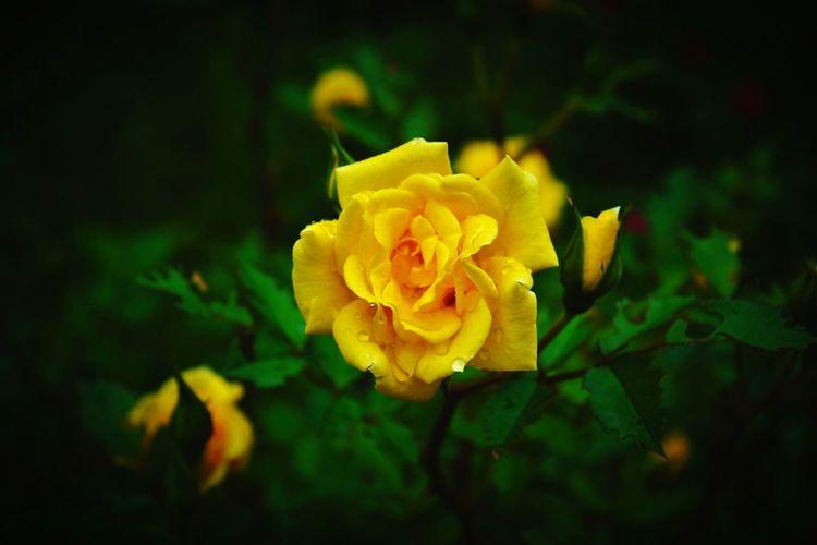 Rose🌹 Yellow