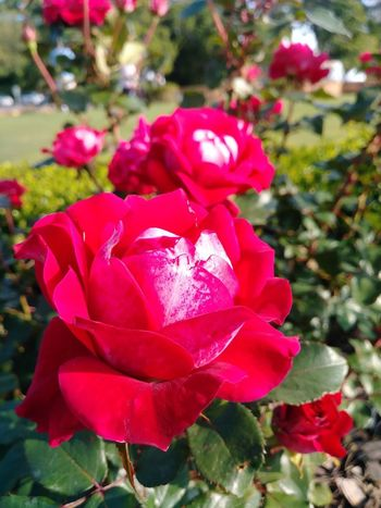 ENVIOUS OF YOU... Flower Flowering Plant Plant Beauty In Nature Pink Color Fragility Petal Red Outdoors Focus On Foreground Vulnerability  Inflorescence Growth No People Flower Head Nature Rosé Freshness Rose - Flower Close-up