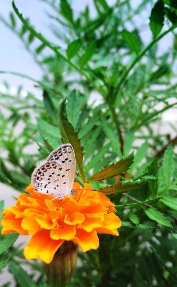 Flower Butterfly チョウ 蝶