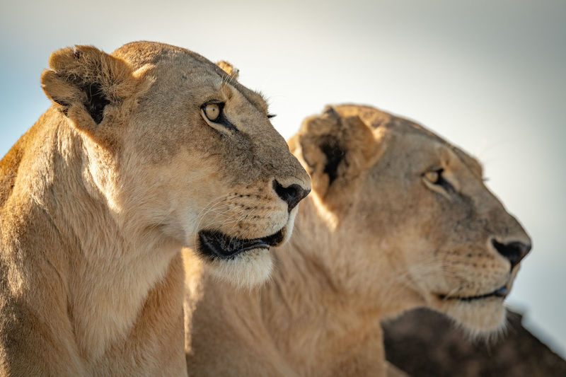 Close-up of lionesses against sky