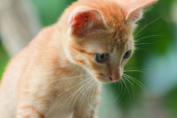 Close-up of ginger cat