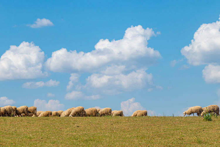 A flock of sheep on green grass with white clouds on a blue sky.
