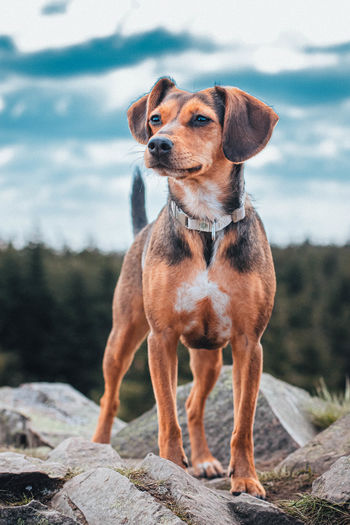 Dog looking away while sitting on rock