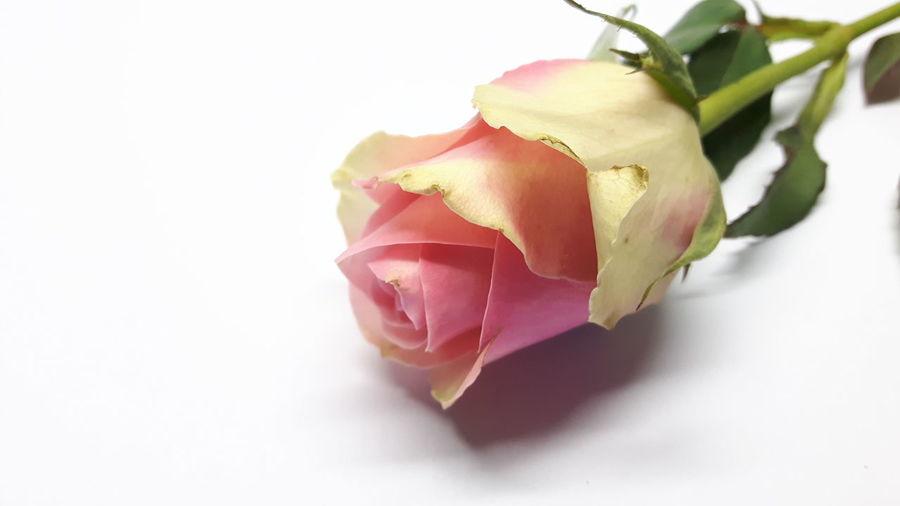 Pink rose *3