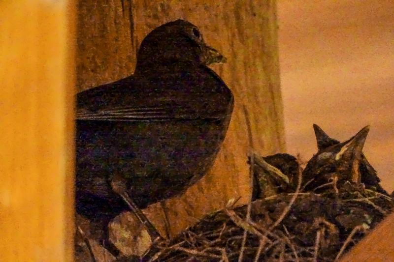 Beauty In Nature Bird Feeding Merle Merle Nature No People Springtime