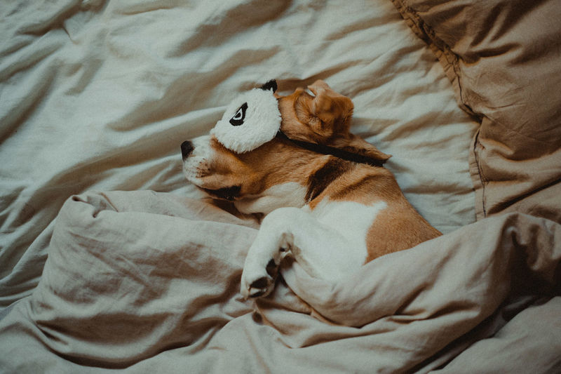 High angle view of dog lying on bed