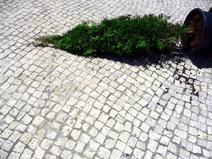 Pine Pine Tree Fig Green Color Green Fallen Tree Nature Christmas Tree Christmastime Bricks Cobblestone Ground Brickstones Windy Windy Day Outdoors Sunshine Grey Grey Floor Cobblestone Streets Cobblestone Pavement Tree_collection  Trees Tree Tree Porn