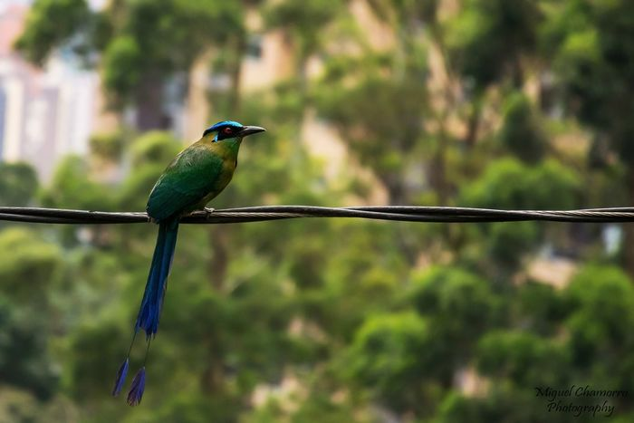 Barranquero Blue EyeEm Best Shots Nature Bird Birds Photography Cute Tiny Green Color Green Nature Photography Wildlife NIKON D5300 Nikon Day EyeEm Nature Lover EyeEmNewHere Nature_collection Red Colors Pet Outdoors Tree Close-up Grass Bird Perching Tree Multi Colored Close-up