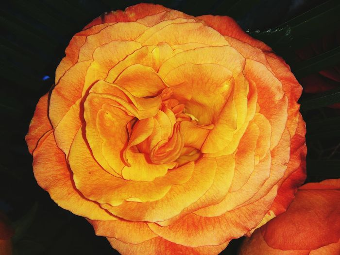 Nature No People Day Close-up Outdoors Beauty In Nature Birthday Celebration Birthday Roses🌹 Roses One Woman Only Bouquet Red Lifestyles Flower Head Beauty In Nature Rose - Flower Nature Freshness Petal Orange Orang Flower Close Up Rose♥
