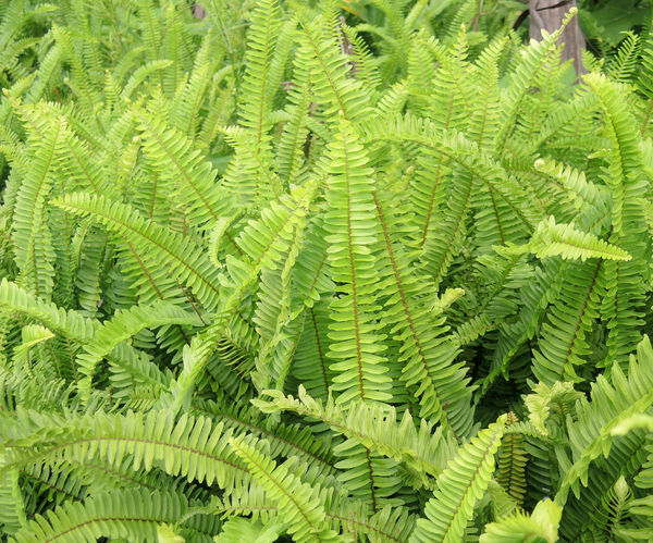 Fern in the garden. Backgrounds Beauty In Nature Botany Fern Foliage Green Color Growth Leaf Lush Foliage Natural Pattern Plant Rainforest