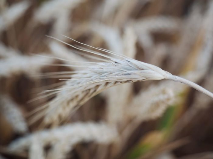 Close-Up Of Crops At Farm