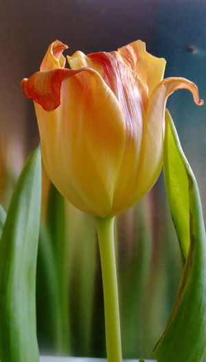 No People StillLifePhotography Nature_collection Flower Collection Beyond Beautiful Tulpenblüte Tulpe Im Licht Verblühte Tulpen Indoors  Flower Head Flower Petal Leaf Pedal Close-up Plant Tulip In Bloom Plant Life Botany