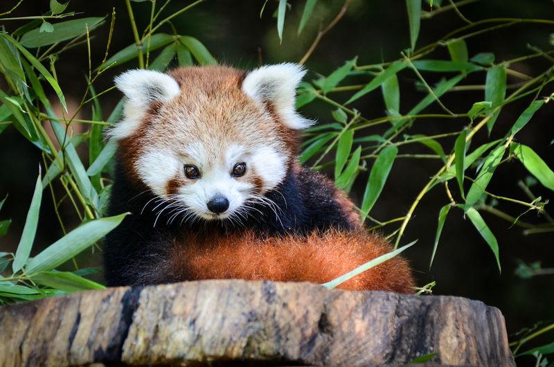 Red panda in a ZOO Animal Cute Firefox Forest Fur HEAD Mammal Nature Red Panda Wild Wildlife Zoo