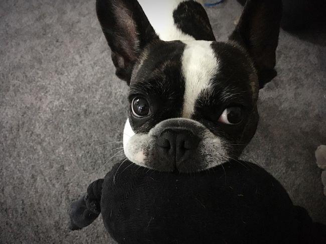 Französische Bulldogge  Frenchbulldog French Bulldog Dog Pets Looking At Camera Close-up Cute Pets Cute Dog  Niedlicher Hund Awww So Cute <3 Awwwwww!!!!!!!!  Aww Dog With Toy French Bulldog With Toy