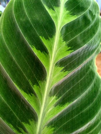 Calathea Warscewiczii Jungle Velvet green leaf macro, Prayer Plant from marantaceae family houseplant, foliage with patterns on leaves, vertical orientation, nobody. Calathea Warscewiczii Jungle Velvet Calathea Marantaceae Foliage Pattern Prayer Plant Green Color Leaf Plant Part Leaf Vein Close-up Nature Plant No People Beauty In Nature Natural Pattern Leaves