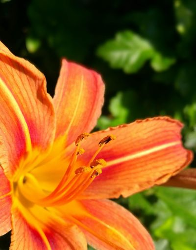 Orange Flower Orange Flowers Orange Flowers 😍🌺🌺🌺 Macro Flower Head Flowers Flowers, Nature And Beauty Flower Photography Day Lily Flower Orange Color Close-up Plant Pollen Blossom Lily
