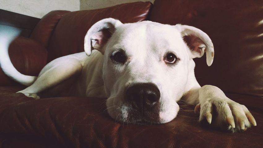 Curious Opie. Dog Animal White Bulldog American Bulldog Paw Samsung