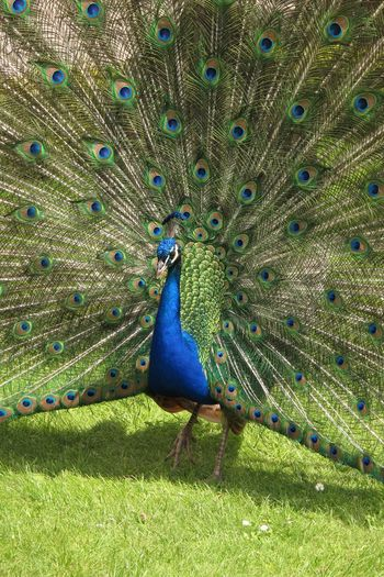 Animal Animal Themes Bird Blue Day Fanned Out Feather  Grass Green Color Male Animal No People One Animal Outdoors Peacock Peacock Feather Peafowl Vertebrate