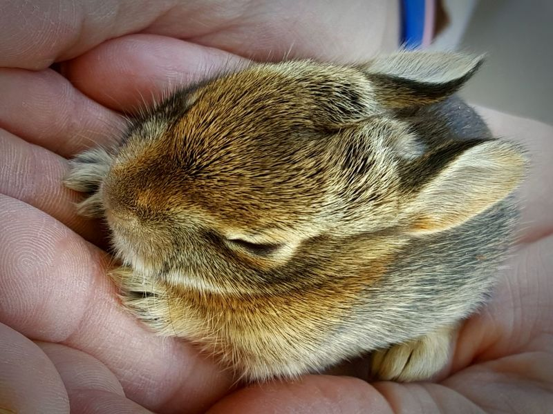 First Mow of the Spring and this little guy darts out into the road. Luckily the Eastern Cottontail Baby Bunny  was rescued. We left him back where we thought his mom might find him. I sure hope she did, because it's a cold night in Shenandoah Valley tonight.