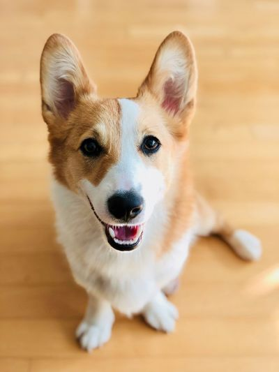 High angle portrait of dog standing on floor