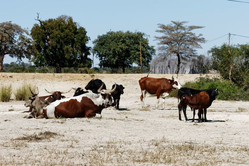Nguni cattle herd rests in the heat of the sun Nguni Cattle Namibia Okovango Africa EyeEm Selects Tree Rural Scene Togetherness Cow Agriculture Group Of Animals Sky Livestock Farm Animal Domestic Cattle Cattle Bull Livestock Tag Herbivorous Domesticated Animal Tag Horned
