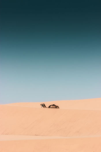 View of camel walking on land at beach