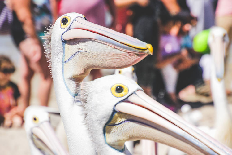 close up of pelicans at a local beach waiting for a regular feed by a local fish market Close-up Focus On Foreground Beak Animal Animal Themes Bird Animal Wildlife Vertebrate Day No People Animals In The Wild Pelican Animal Body Part Group Of Animals Animal Head