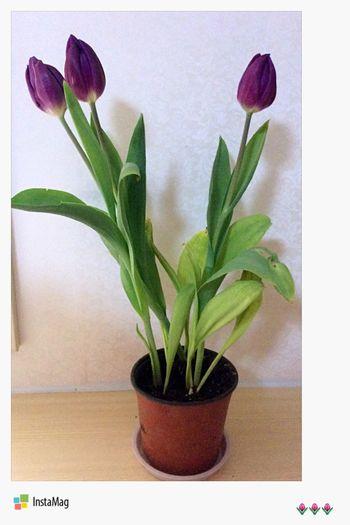 紫色郁金香🌷的花語是高貴的愛、無盡的愛,好喜歡這個花語,與紫色郁金香本身的花型色澤非常相符,能把高貴的紫色演繹出清麗之色,非郁金香不能,能把郁金香經營出高貴典雅氣質非紫色不能。 郁金香 Today's Hot Look Flowers Flower Flowerporn Tulips Tulip Fragrance Aroma Tulips🌷