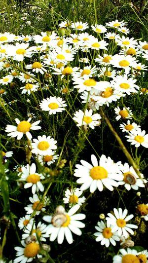 Daisies Meadow Summertime Herbs Blossom